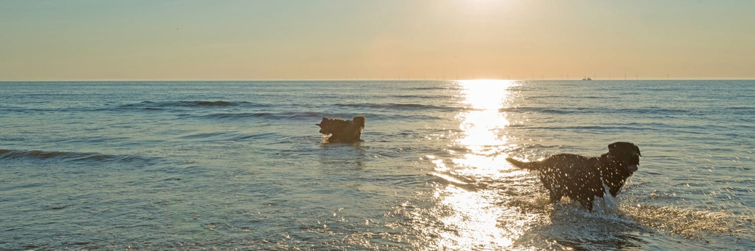 two dogs playing in ocean at sunset