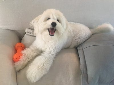 small white dog on back of couch: Photo Gallery in Miami